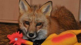 Домашние лисы.Все самое интересное в одном видео!