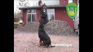 Дрессировка собак. Ротвейлер, Гектор, послушание