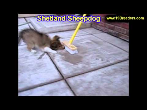 Shetland Sheepdog, Puppies, For, Sale, In, Billings, Montana, MT, Missoula, Great  Falls, Bozeman