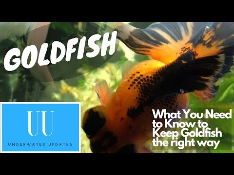 Keeping Goldfish - CARE, TEMPERATURE, TANK SIZE And MORE!!!
