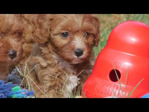 Toy Cavoodle Puppies Summertime Fun