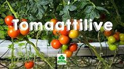 Tomaattilive - seuraa tomaatin kasvua kasvihuoneessa