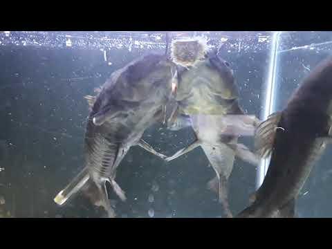 Armored Catfish, Hooplas, Hoplo, South American  Catfish