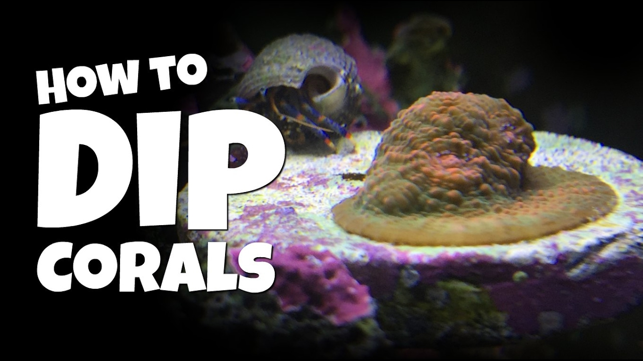 how to dip corals