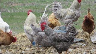 Фокси чик Foxy Chick и Мастер Грей Master Grey Gris мясо яичные цыплята и куры бройлерного направл(Фокси чик (Foxy Chick) и Мастер Грей (Master Grey / Gris) - мясо яичные цыплята и куры бройлерного направления. Заказать..., 2015-01-12T13:54:58.000Z)