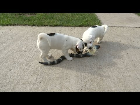 Jack Russell Terrier Puppies Take on Robot Cobra