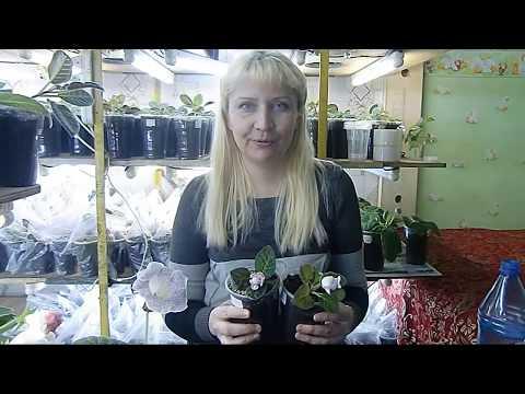 🌼ПОСАДКА КЛУБНЕЙ ГЛОКСИНИЙ, КУПЛЕННЫХ В МАГАЗИНЕ !🌼🌱How to grow gloxinia part №30