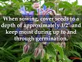 HOW TO GROW BORAGE AT HOME