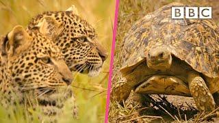 Leopard cubs practice their hunting skills | Serengeti II - BBC