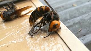 """""""SAVE THE HONEY BEES"""" Stop Asian Giant Hornets attack"""