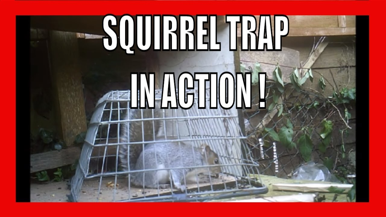 Squirrel Trap In Action - YouTube