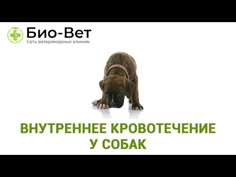 Как остановить внутреннее кровотечение у собаки