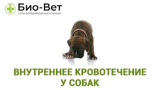 Внутреннее кровотечение у собак. Ветеринарная клиника Био-Вет.
