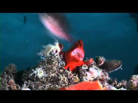 Funny Giant Frogfish bites off more than it can chew!