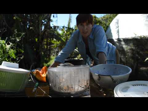 Pumpkin seed saving-pt 1 cleaning and drying