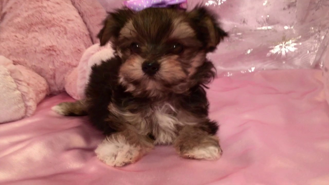 Teacup Morkie Puppies For Sale In NC