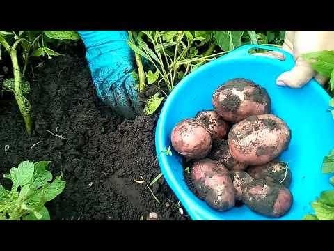 Дом в деревне . Накопали молодой картошки!!.Жизнь в пределах деревни