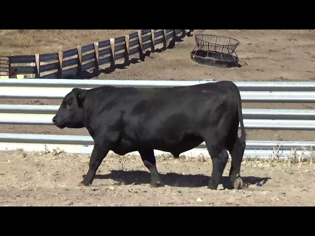 Connealy Angus Lot 164