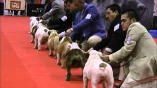 Expocan Mexico Especializada Bulldog Ingles Dia 1 - Bloque 1