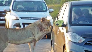 Lion Versus Car's Door!