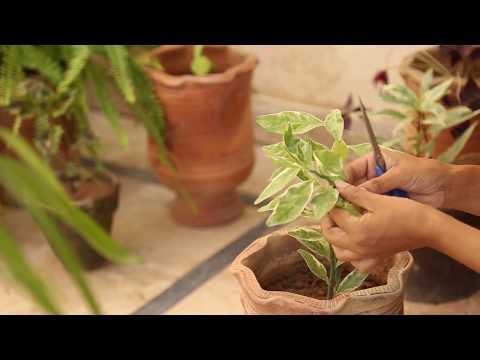 Variegated Devil's Backbone Plant Care And Propagation(Urdu)