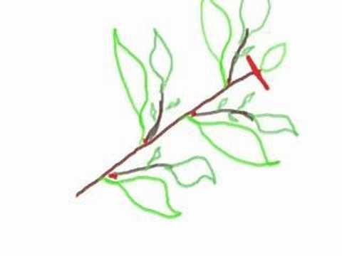 Garden Pruning Basics