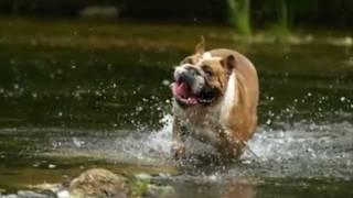 Английский бульдог. English bulldog.