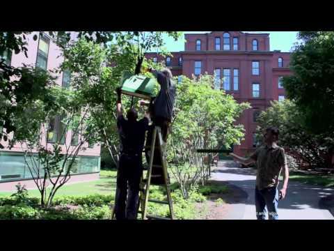 Bees Swarming at Harvard on YouTube