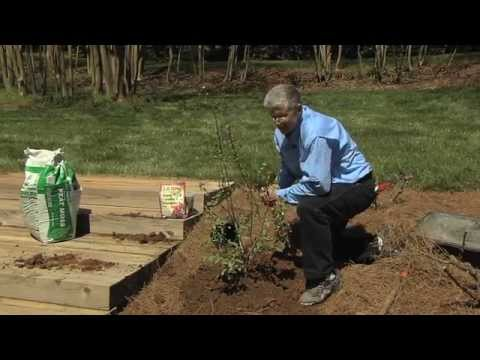 Walter Reeves Planting And Growing Blueberry Bushes