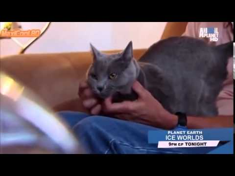 Породы кошек  Шартрез