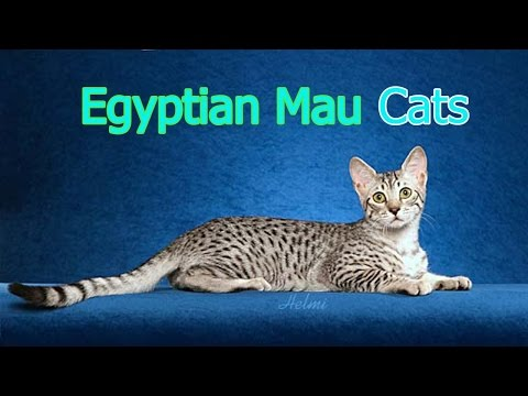 Egyptian Mau Cats ★ AnyFuns Channel