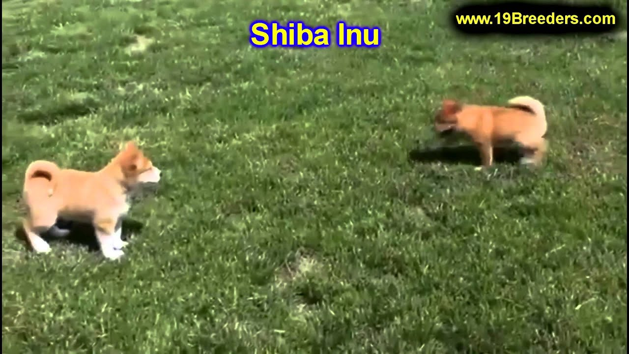 Shiba Inu Puppies For Sale In Indianapolis Indiana In