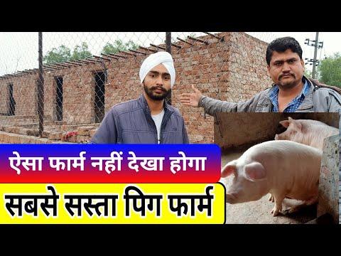 Small Pig Farming Start From Young Punjabi Farmer ऐसे करें सूअर पालन - Agritech Guruji