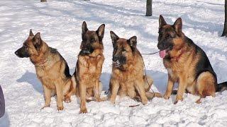"Команда ""СИДЕТЬ"". НЕМЕЦКИЕ ОВЧАРКИ. German Shepherds perform the command ""Sit"". Одесса."