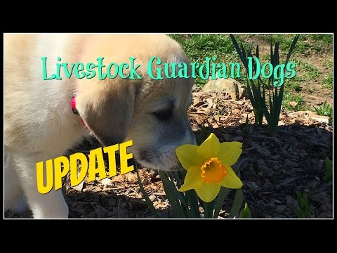 Our Livestock Guardian Dogs Update~