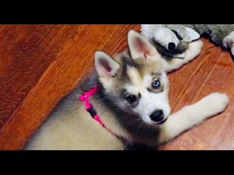Husky Puppy Growing Up 6 Weeks To 1 Year Youtube