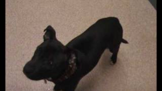 Staffordshire Bull Terrier Pup Eating