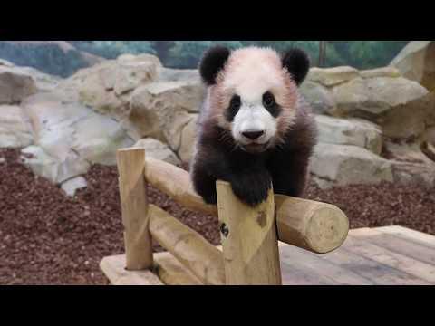 Bébé panda a 6 mois
