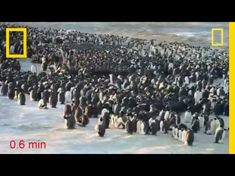 Penguins Do the Wave to Keep Warm | National Geographic