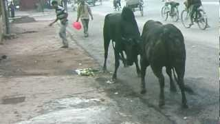 Two indian cows(bulls) fight accident in Varanasi !!