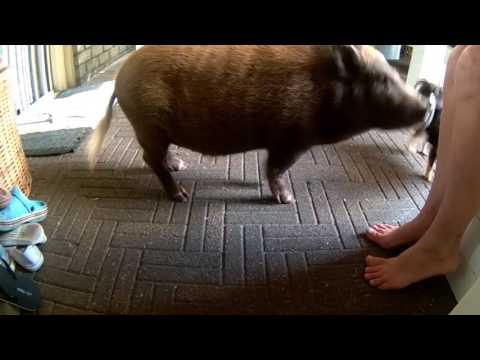 Bram en zijn varkens kunstjes