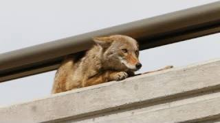 Coyote caught on bridge