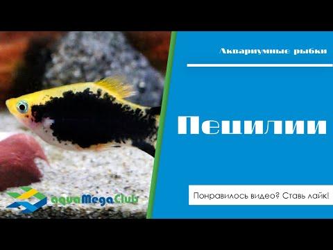 Пецилии в aquaMegaMall.ru 🐠