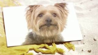 Silky Terrier Training