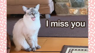 Balinese cat misses owner and meows. #Shorts