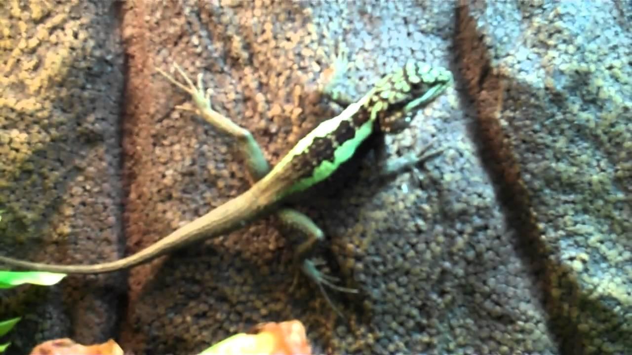 Male Chinese Tree Dragon Neon Dragon Lizard Japalura Splendida Youtube