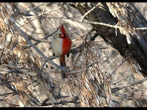 Half male half female Northern Cardinal