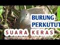 Burung Perkutut Manggung Suaranya Keras Memanggil Perkutut Lain Yang Mendengar Merbok Kampung  Mp3 - Mp4 Download