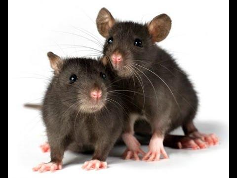 Мышиный беспридел.  Мыши в улье после зимовки