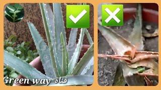 تعالوا شوفوا اسرار نجاح زراعة صبار الالوفيرا 👍👌Successful cultivation of Aloe vera
